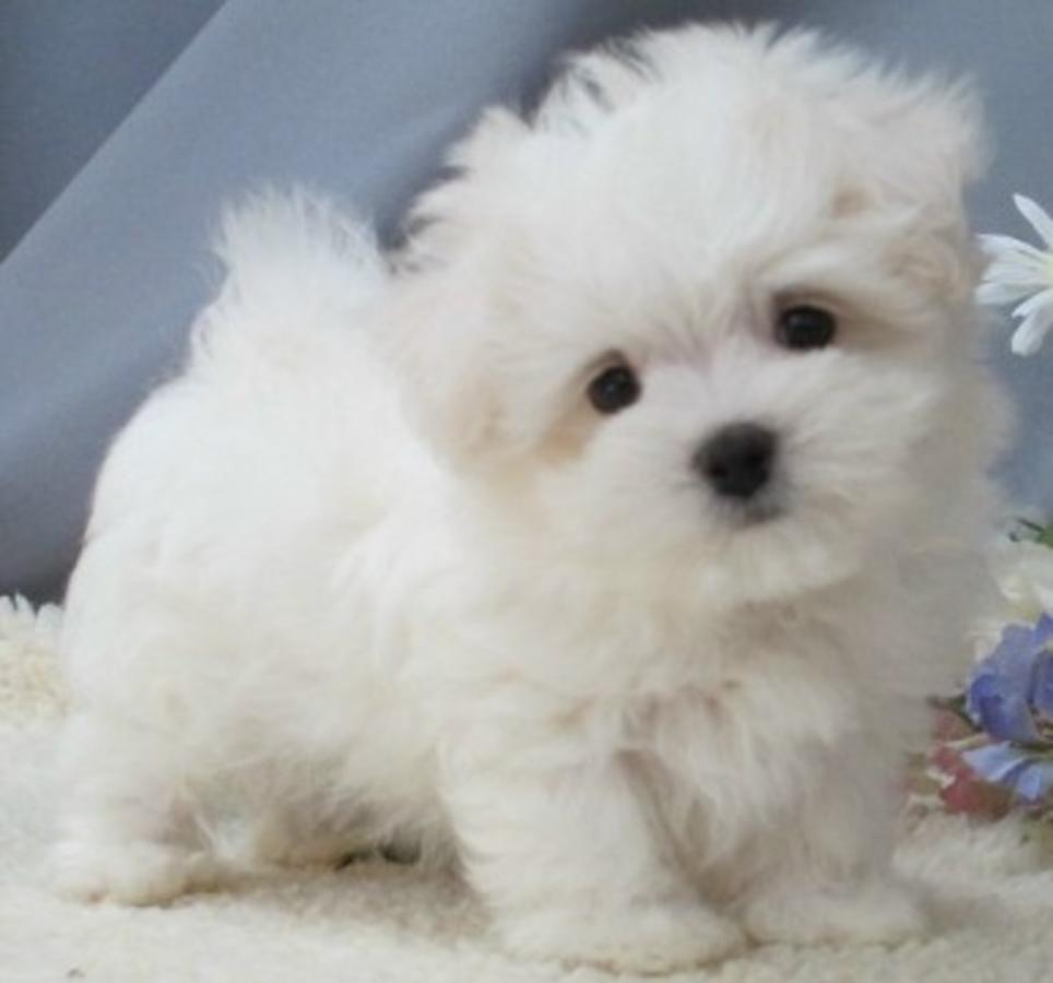 White Maltese Poodle Mix